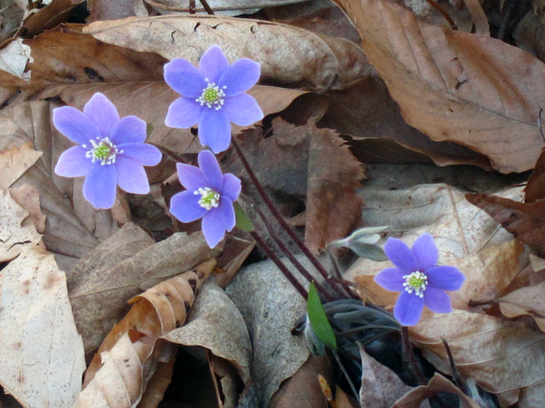 Hepatica in the Warren Woods, Michigan.