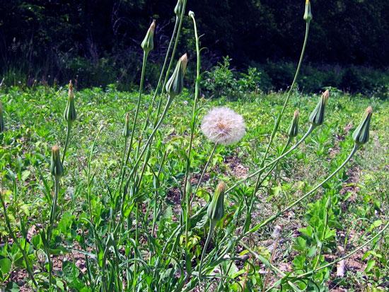 Dandelion towering over Roundup Ready seedlings.