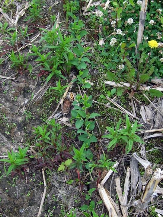 Roundup Ready seedlings growing up among weeds, © 2013 Susan Barsy
