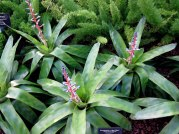 Bromeliads, © 2014 Susan Barsy